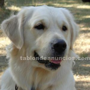 Cachorros golden retriever loe