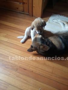 Regalo cachorra de mastín y sabuesa bosnia. 3 meses.