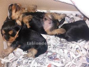 Yorkshire terrier venta de cachorros