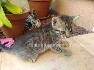 Gatito atigrado en adopcion