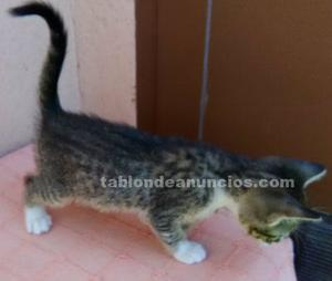 Doy en adopción o regalo gatito nacido el 6 de marzo,