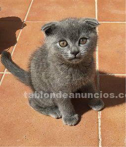 A venta gatitos british(britich)