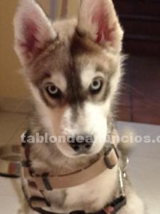 Se vende cachorro husky