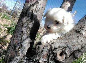 Cachorrita de bichón maltés