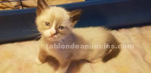 Se vende expectacular gatito siames de mes y medio
