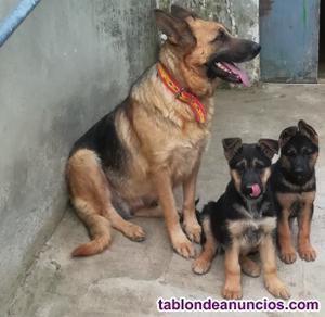 Venta de cachorros de pastor alemán