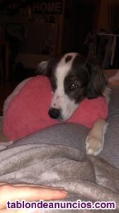 Regalo cachorro de 10 meses mezcla de colie