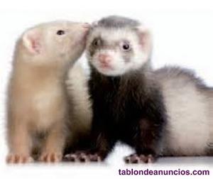 Preciosas crias de hurones a elegir color albinos y sables y