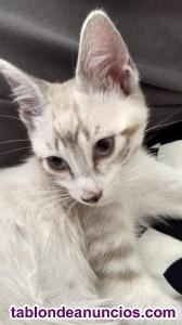 Vendo gatito de tres meses