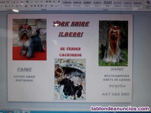 Se venden yorkshire terrier