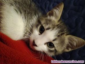Regalo gatito muy guapo y jugueton de 3 meses