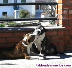 Camada american staffordshire terrier