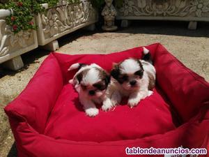 Shih-tzu cachorros macho y hembra