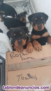 Se venden cachorros de rotwelir