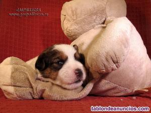Cachorros de jack russell terrier