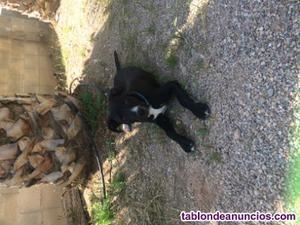 Hermoso cachorro pitbull con bóxer