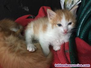 Regalo gatitos pelirrojos