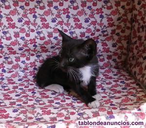 Gatita negra y blanca de 1 mes cruce de siamés en adopción