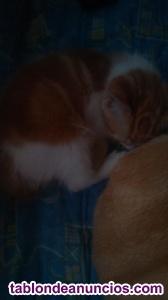 Regalo gatito macho de mes y medio muy carinoso y juguetón