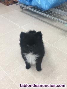 Cachorra de pomerania negra
