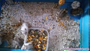 Crías de hamster ruso