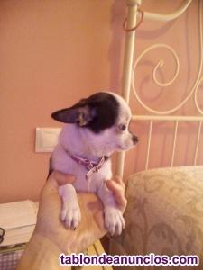 Chihuahua mini toy cabe za manzana