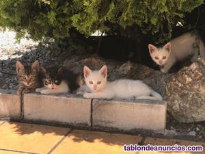 Adopción de gatitos de 1 mes aprox.