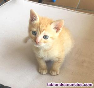 Gatito naranja atigrado en adopción