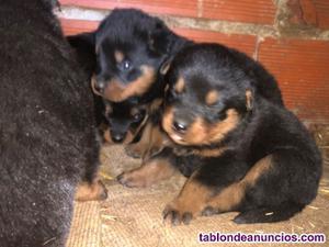Se venden cachorros de rottweiler