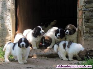 Cachorros de mastín del pirineo