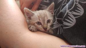 Regalo gatitos siamés y blue point sin pedigree