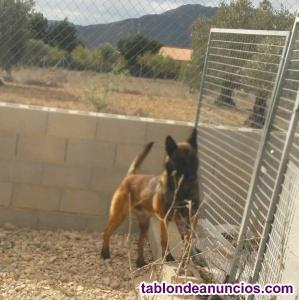 Tremendos cachorros de pastor belga malinois