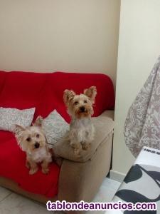 Preciosos cachorros yorshire