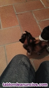 Se regala gatita tricolor 2 meses