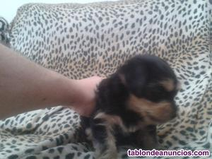 Se vende cachorro yorkshire de pura raza