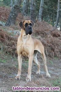 Cachorros de dogo aleman / gran danés dorados y atigrada