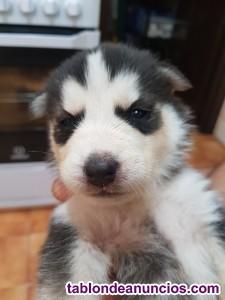 Vendo cachorros de husky