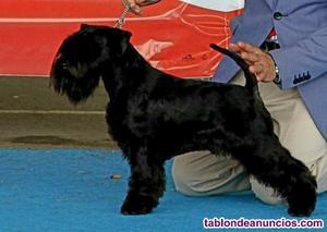 Cachorros schnauzer miniatura negros loee
