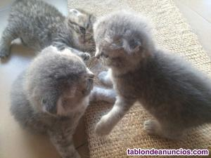 Preciosa camada gatitos british, lilas y silver