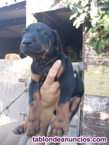 Se venden cachorros doberman
