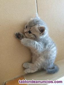 Camada gatitos british con orejas caidas