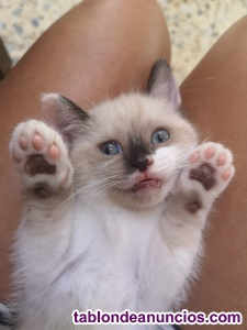 Vendo gatita siames