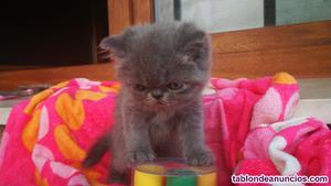 Se vende gatito persa