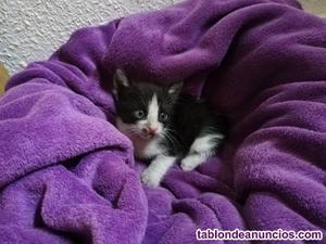 Regalo gatito macho de 4 semanas