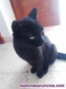 Regalo gato listo fiel y sociable.