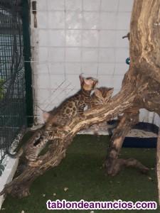Se venden gatos bengalí de pura raza