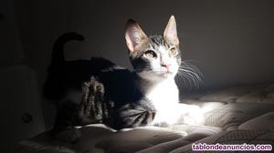Gatito en adopción 3 meses