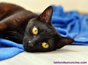 Gata negra preciosa en adopción