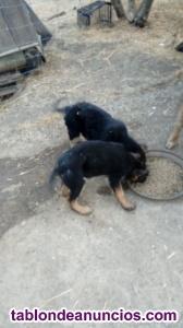 Se vende cachorro de pastor alemán