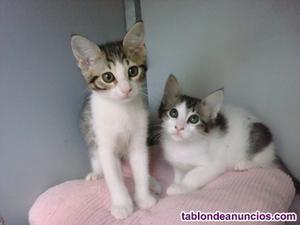 Se regalan preciosos gatitos para personas responsables y